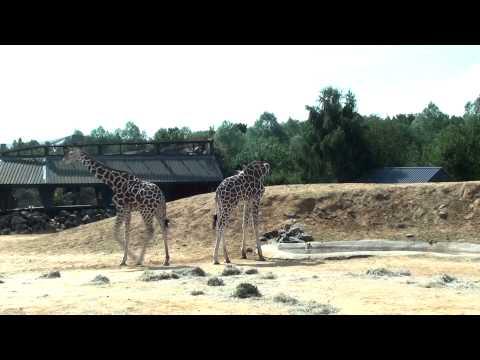 Giraffe ***
