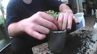 пикировка розовых помидор(выращиваем помидор розовый для себя , посадили в ту же теплицу потому что там стоит отопление и там тепло,..., 2014-05-04T15:04:26.000Z)