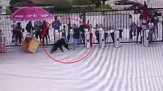 Police caught a chimpanzee that had escaped from its enclosure in east china's hefei wildlife park on friday. the park's cctv video shows group of visitors...