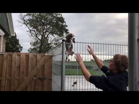 Beagle Puppy Escapes Prison | Beagle Universe