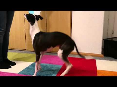 Italian Greyhound doing tricks