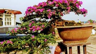 Hoa giấy thác đổ 200 triệu tại triển lãm Đồng Mô - Sơn Tây - Hà Nội.