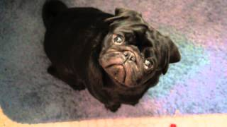 Pug Head Tilt 180 Degrees!