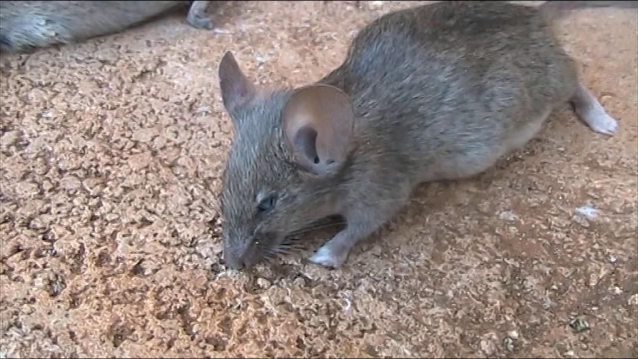 J Ai Une Souris Chez Moi comment se débarrasser des souris ? - 911 exterminateur