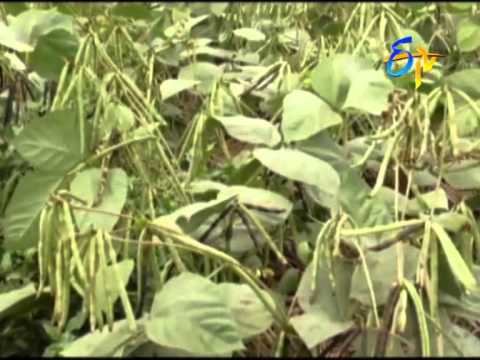 New green gram variety showing good results: Experience of Guntur farmer