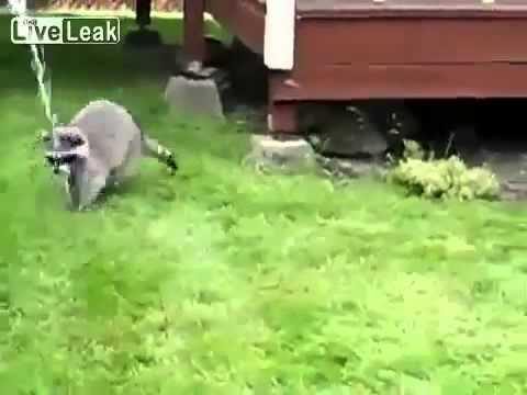 Смешное видео: Енот играет с водой - Смешное видео про