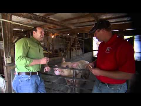 Famous Pig on Tennessee Family Farm: America's Heartland