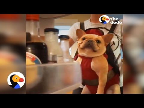 French Bulldog Carried Like A Baby | The Dodo
