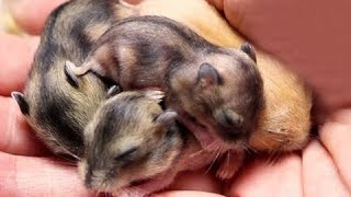 Baby dwarf hamsters   Baby hamsters growing up  day 1 to day 30