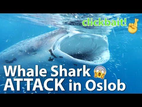 Whale Shark Attack in OSLOB, Cebu