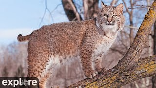 Bobcat Rehab and Release - Big Cat Rescue powered by EXPLORE.ORG