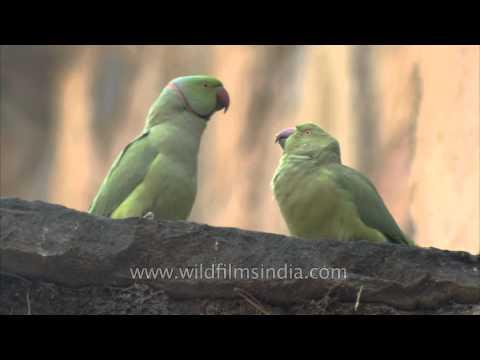 Parakeet feeding its baby