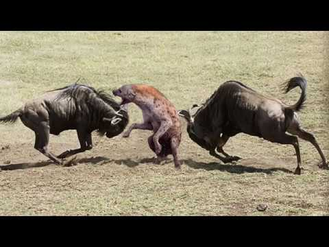 Amazing Newborn Wildebeest Escape From Hyena Hunt, The Power of Mother Animals