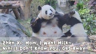 Zhen Xi: Mom, I Want Milk~ Nini: I Don't Know You, Get Away | iPanda