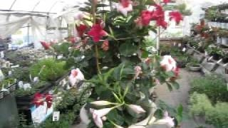 長く咲くマンデビラの改良種サンパラソルの育て方です。動画作成:花の...