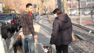 Aggressive Pit Bull And Pregnant Owner - Nyc Dog Training - Dctk9 - Part 3