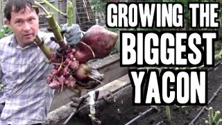 Growing & Harvesting Organic Yacon is Better than Yacon Syrup