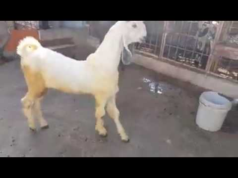 nachi goat white & black part 2