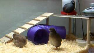 Ignatius (female button quail) calling
