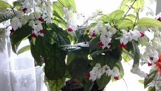 Мои комнатные растения в апреле 2016  г ./Домашние комнатные растения ./ Домашние цветы . - Мои комнатные растения ! А как же без них ! Они живые , радуют глаз . На моем канале : https://www.youtube.com/channel/UCVfNzLQOkHhJ...