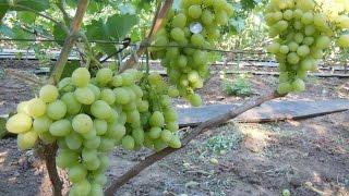 виноград сеянец  ПРОДЮСЕР - ФОТО И ОПИСАНИЕ