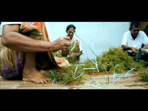 Mindanao Seaweeds Harvest