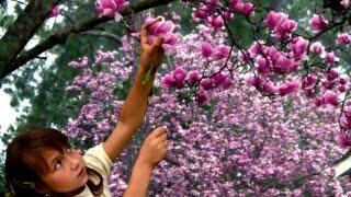 Saucer Pink Magnolia Tree