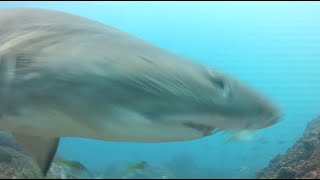 Shark sees GoPro and moves like a Bullet!