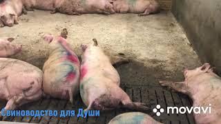 Правильное (рекомендуемое)кормление супоросных свиноматок!