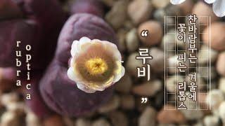 리톱스 종류 겨울에 꽃이 피피는 보석같은 리톱스 루비 …