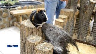 В уфимском зоопарке подружились дикобраз и морская свинка