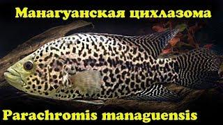 Манагуанская цихлазома - Parachromis managuensis