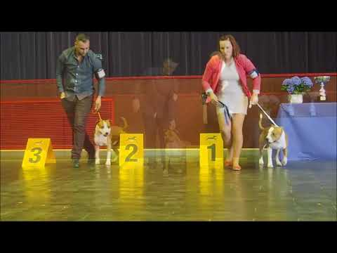 Special Terrier Show ( Amstaff ) Luxembourg 06/05/2018