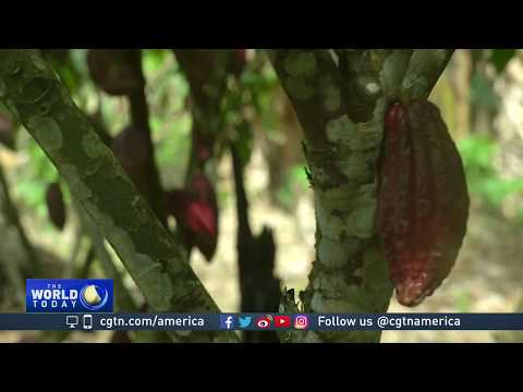 From coca to cacao: Colombia pushes farmers to exit cocaine trade