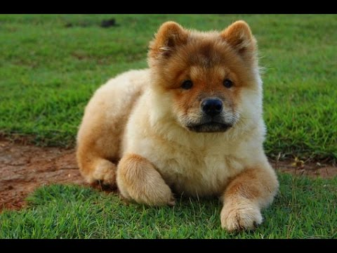 How To Potty Train A Chow Puppy Free Mini Course