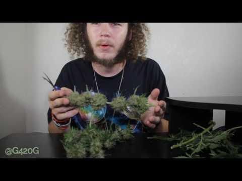 Harvesting Cannabis NYCD Autoflower Crop King Seeds