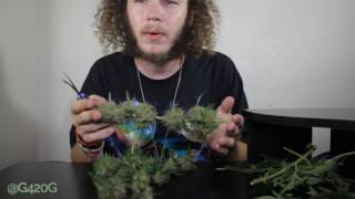 Harvesting Cannabis NYCD Autoflower Crop King Seeds