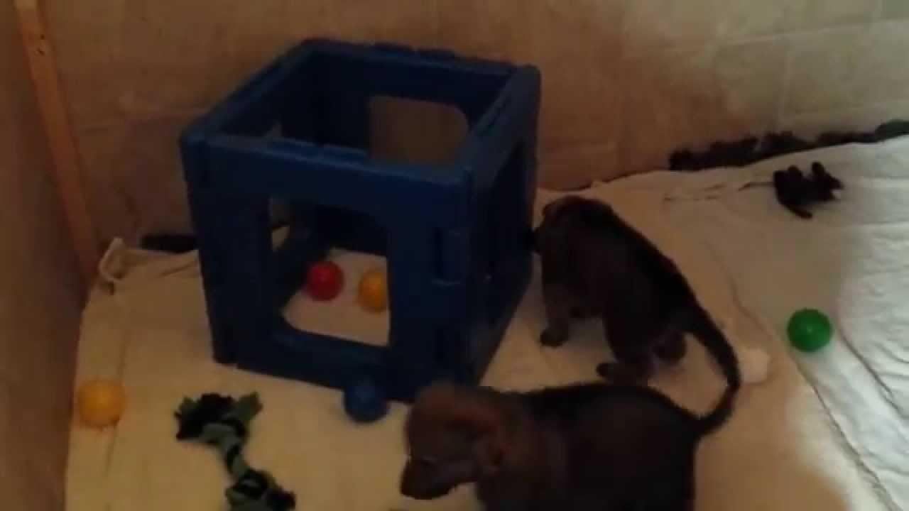 tschechoslowakische wolfshunde b wurf atius tirawa youtube. Black Bedroom Furniture Sets. Home Design Ideas