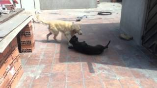 Golden Retriever Y Pitbull Jugando =)