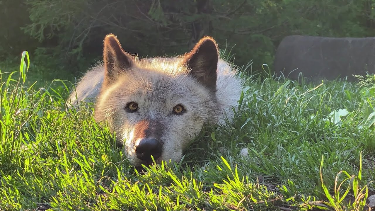 A Moment of Calm and Cute with Zephyr the Wolf