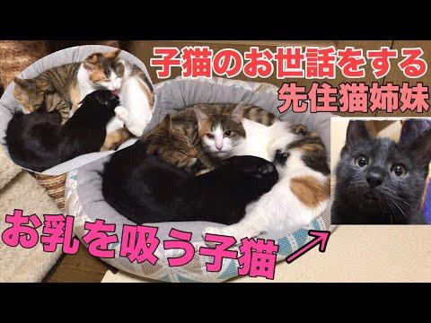 子猫のお世話をする先住猫姉妹!お乳を吸う子猫が可愛い!