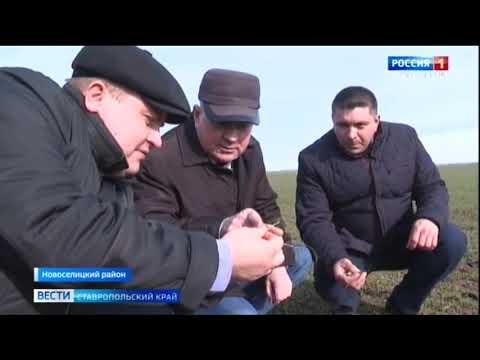 Негармоничный союз озимых и ставропольской погоды. Какие прогнозы на урожай?