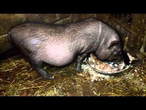 Бесплатное кормление вьетнамских вислобрюхих свиней