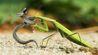 ВЕРСУС!  На что способен Богомол! Богомол против мыши, ящерицы и даже змеи!