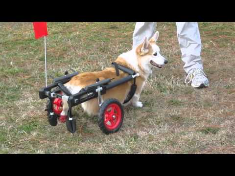 dog wheelchair rental - cinemapichollu