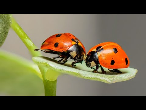 what do ladybugs eat the fact about lady bugs youtube. Black Bedroom Furniture Sets. Home Design Ideas