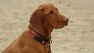 Olive - Hungarian Vizsla - 2 Week Residential Dog Training