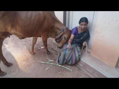 Lovable  gir cow in 'SRI RAMA PRIYA' farm.