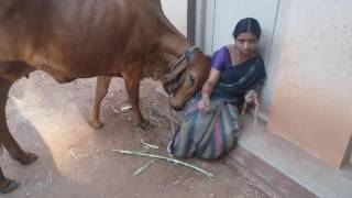Lovable  gir cow in 'SRI RAMA PRIYA' farm.