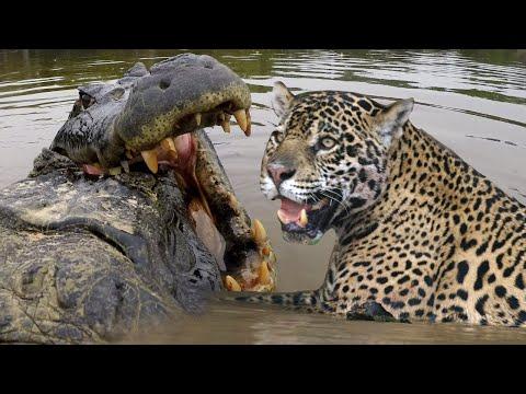 JAGUAR VS CROC Fight To Death | Love Nature